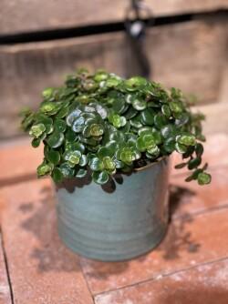 Sedum plante