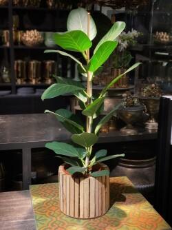 Ficus Beng Audrey