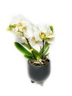 Orkide Phalaenopsis