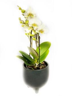 Orkide Beauty